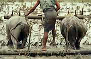 Plowing a rice paddy with water buffaloes.