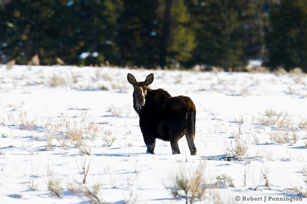 A female Moose stops to look while traversing a wintery field near the Teton Range in Wyoming.