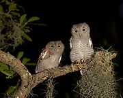 Screech owl fledglings, Otus asio,  in gray and red phase, wild, Florida