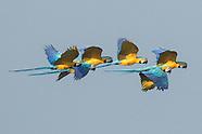 Peru Amazonian land birds non-Passerines