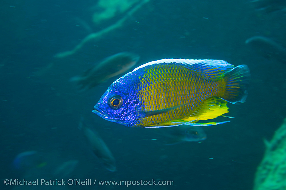Male Copadichromis borleyi in full breeding coloration photographed at Taiwanee Reef north of Chizimulu Island, Lake Malawi, Malawi, Africa.