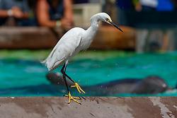 Snowy Egret (Egretta thula), Sea World, San Diego, California, United States of America