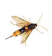 Horntail - Uroceras gigas
