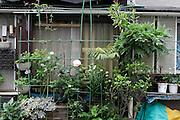growing flowers in front of window Japan