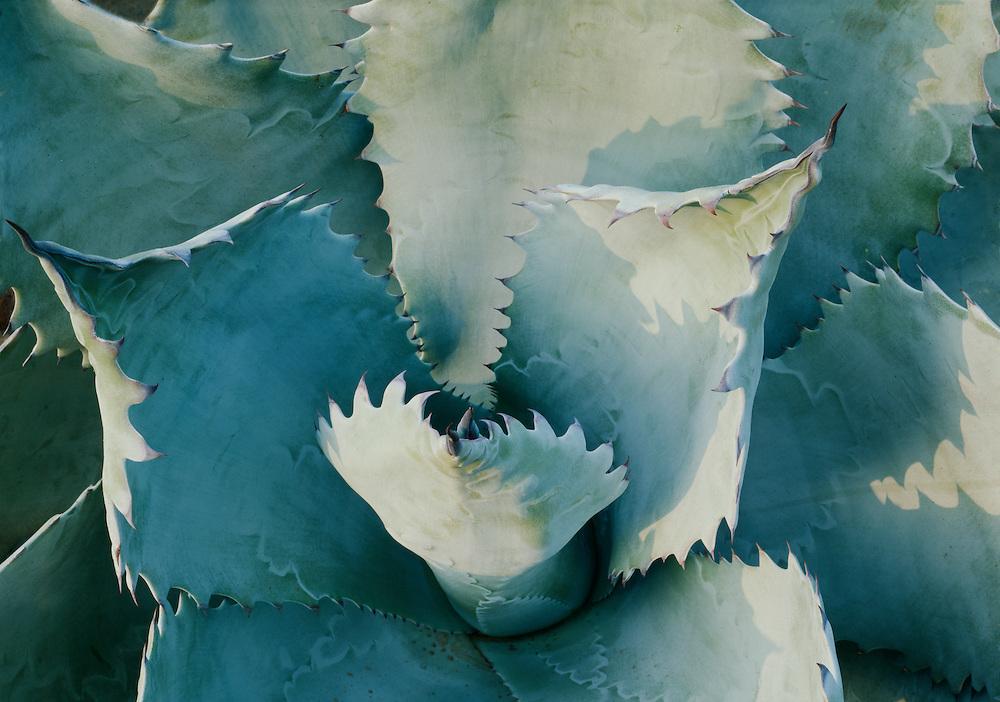 Agave colorata, Huntington Botanical Gardens, San Marino, California