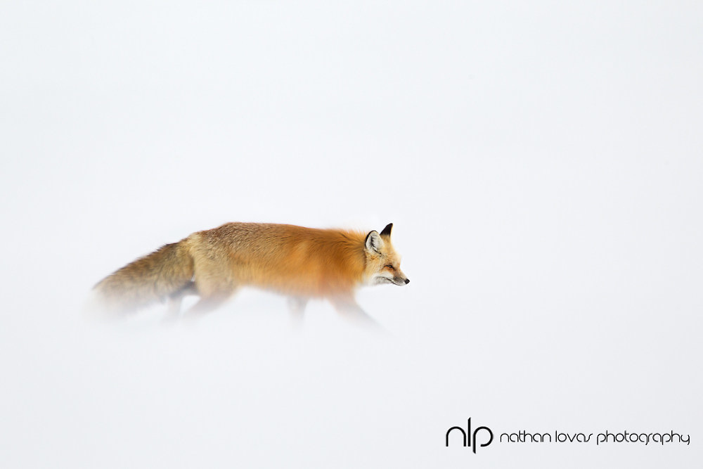 Red fox walking in blowing snow; Yellowstone NP in wild.