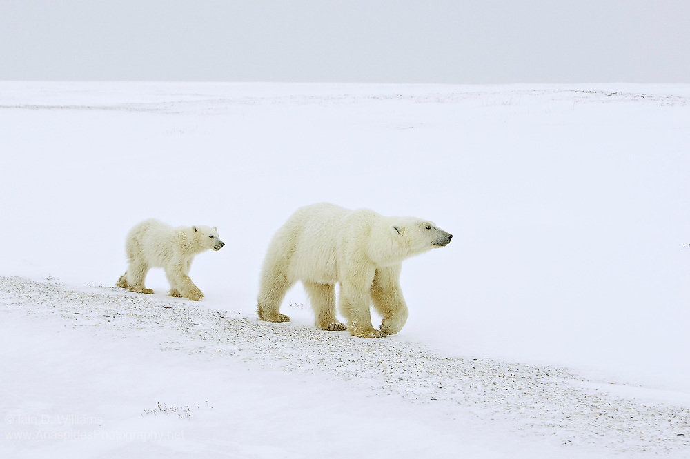 A mother polar bear and cub slowly patrol along a snow drift adjacent to the waters of Hudson Bay in Canada.  The bears are waiting for the sea ice to form so that they can migrate onto the ice in search of their favoured food, the ringed seal