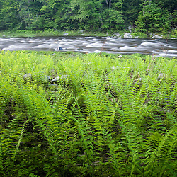 Ferns and the West Branch of the Westfield River in Chesterfield Massachusetts USA