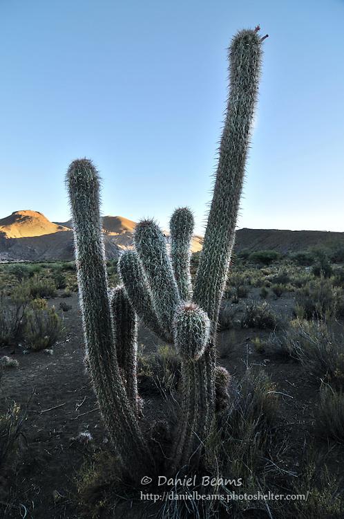 Cactus desert landscape, Potosi, Bolivia