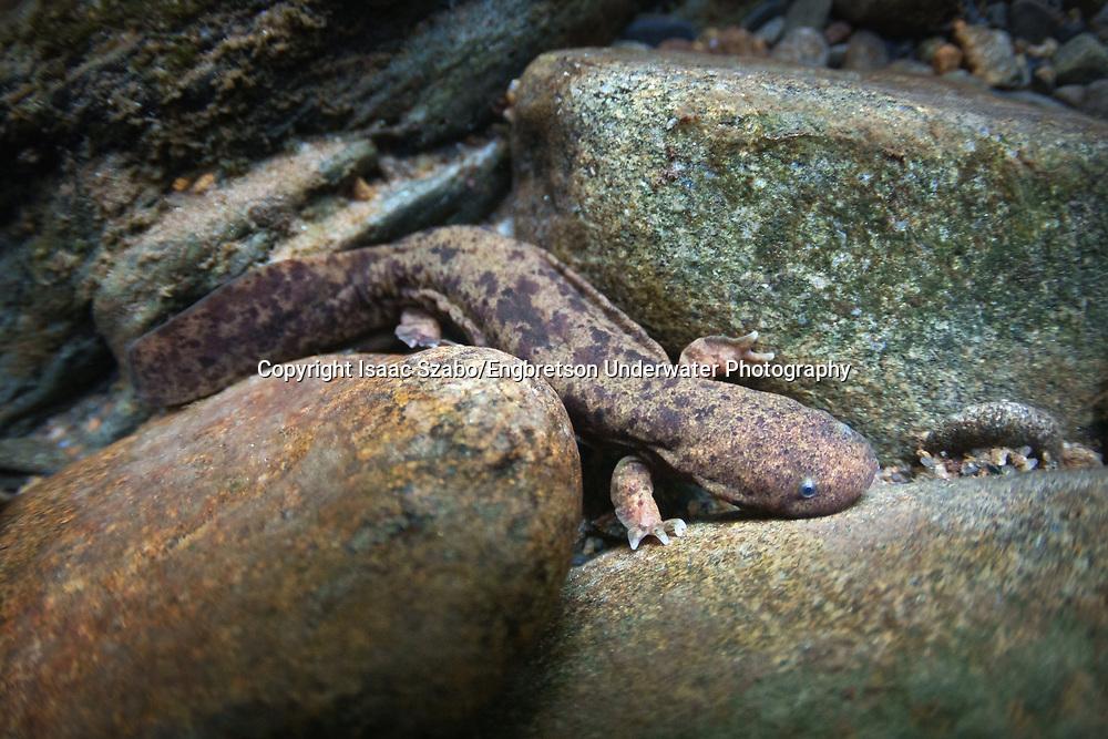 Hellbender Salamander (juvenile)<br /> <br /> Isaac Szabo/Engbretson Underwater Photography