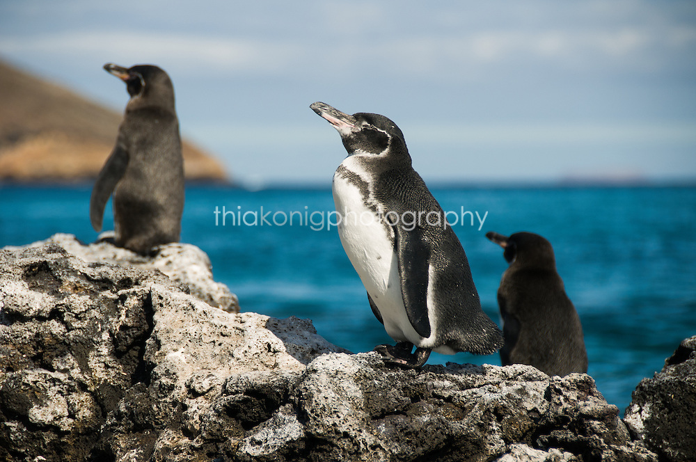 The Galapagos Penguin is a penguin endemic to the Galapagos Islands. It is the only penguin that lives north of the equator in the wild.