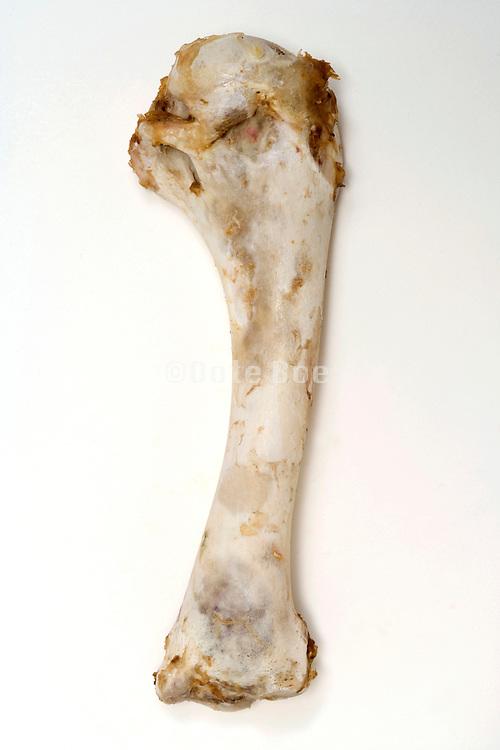 leg bone of a Turkey