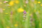 Breitblättrige Knabenkraut (Dactylorhiza majalis)