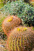 Barrel cactus blooming in Plum Canyon, Anza-Borrego Desert State Park, California USA