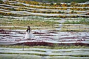 CHENGDU, CHINA - SEPTEMBER 24: (CHINA OUT) <br /> <br /> 4,100-Meter-Long Wedding Dress <br /> <br /> Workers roll out a set of 4,100-meter long wedding dress at Xiangxunshangu on September 24, 2014 in Chengdu, Sichuan province of China. A set of 4,100-meter long wedding dress with its tail made up by single-layer gauze is seen in Chengdu to welcome the upcoming holiday of the National Day of People's Republic of China. The wedding dress is 1.5 meters in width and costs 40,000 RMB(about 6517.24 USD) in one month, longer 1,123 meters than Guinness record of world's longest wedding dress. <br /> ©Exclusivepix