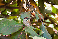Eurasian Tree Sparrows (Passer montanus) perched in a tree. (Siem Reap; Cambodia)