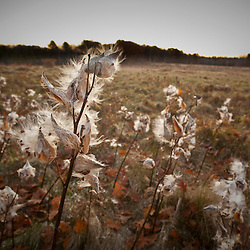 Milkweed pods in a field in Scarborough, Maine. Fall.