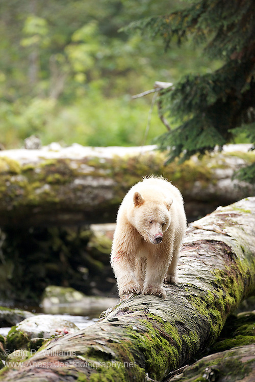 The Kermode Bear Also Known As Spirit Or Ghost