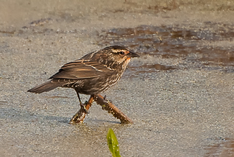 A female red-winged blackbird perches above a pond in the St. Marks National Wildlife Refuge of the Florida Panhandle.