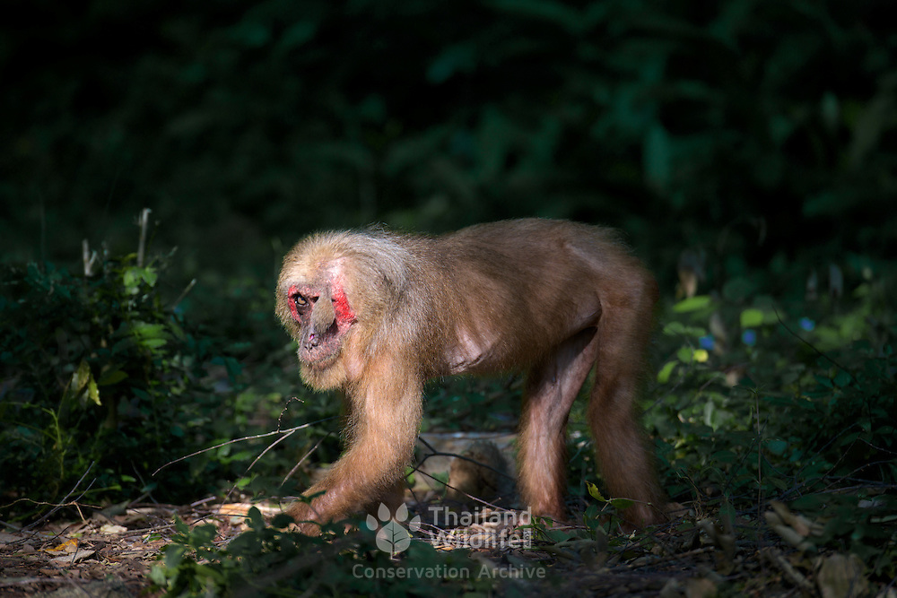 The stump-tailed macaque (Macaca arctoides), this old female has developed a strange growth above her eye.