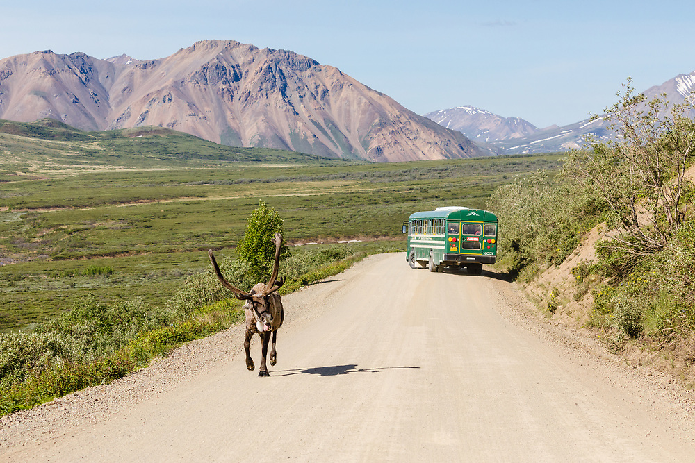 Caribou (Rangifer tarandus) runs up Polychrome Pass past a park bus on the Denali Park Road in Denali National Park in Interior Alaska. Summer. Morning.