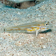 Pallid Goby inhabit sand chutes, also around coral reefs in sheltered locations in Tropical West Atlantic; picture taken Little Cayman.