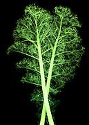 X-ray of Kale (Brassica oleracea).