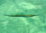 Gulf needlefish, hunting small fish in the floating Sargasso.