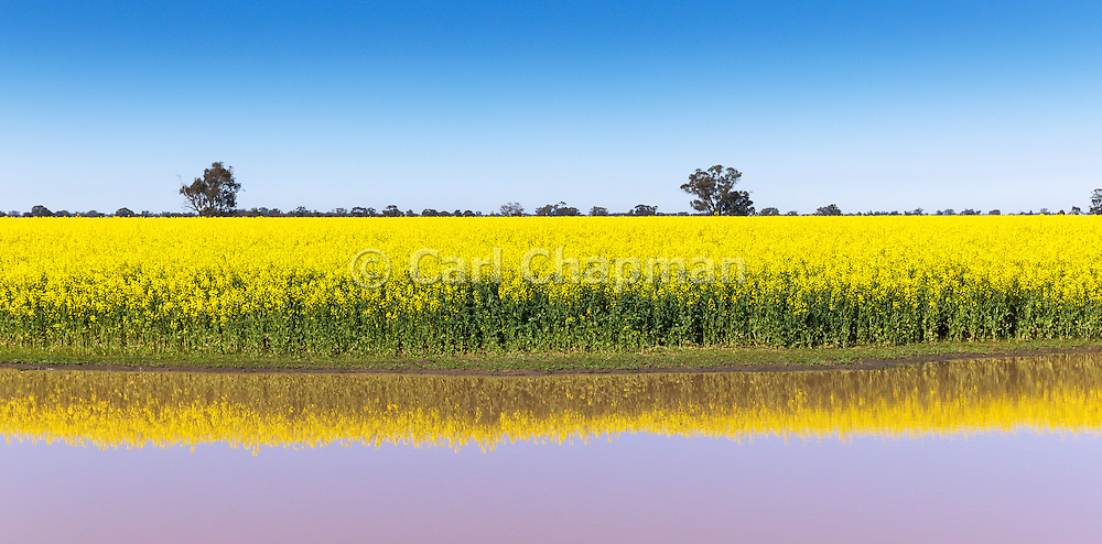 Canola crop reflection in pond under blue sky near Lockhart, New South Wales, Australia.
