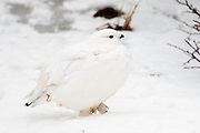 CANADA, Churchill (Hudson Bay).?Willow ptarmigan (Lagopus lagopus) in winter plumage