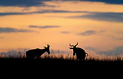 Two hartebeests against the morning sky in Maasai Mara, Kenya.