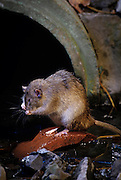 A brown rat (Rattus norvegicus) cleaning itself near a city sewer outlet. Portland, Oregon. These rats are not native, but are european in origin and have followed human settlements around the world. Captive illustration.