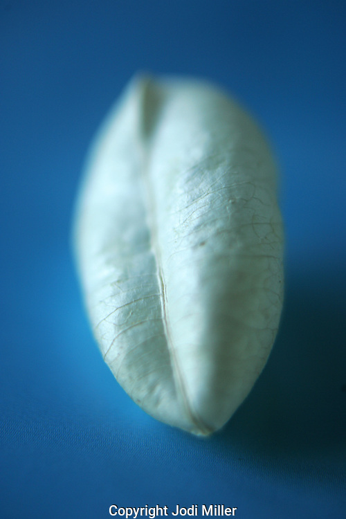 A plant pod on blue paper.