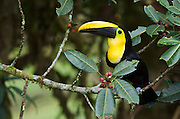 Choco Toucan (Ramphastos brevis)<br /> Mindo<br /> Cloud Forest<br /> West slope of Andes<br /> ECUADOR.  South America<br /> HABITAT &amp; RANGE: Humid lowland and foothill forests on the Pacific slope of Colombia and Ecuador