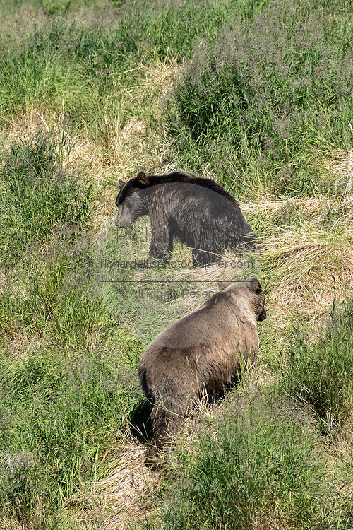 A Grizzly bear boar chases off a younger sub-adult from the upper McNeil River falls fishing grounds at the McNeil River State Game Sanctuary on the Kenai Peninsula, Alaska. The remote site is accessed only with a special permit and is the world's largest seasonal population of brown bears.