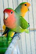 Cuban parakeets.