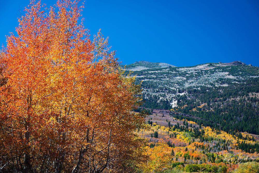 Fall aspens, Toiyabe National Forest, Sierra Nevada Mountains, California USA