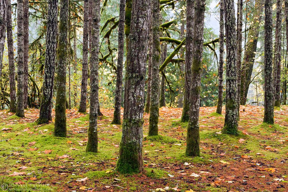 Rows of trees at Englishman River Falls Provincial Park near Nanaimo, British Columbia, Canada