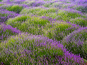 Annual Lavender Festival at 123 Farms at Highland Springs Ranch & Inn