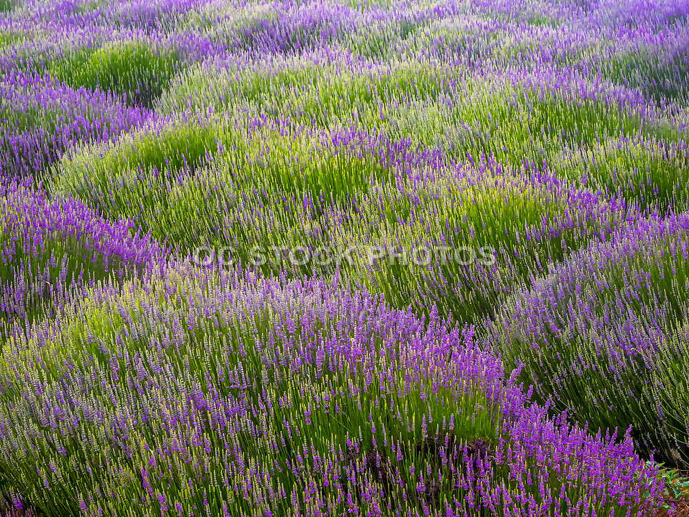 Annual Lavender Festival at 123 Farms at Highland Springs Ranch & Inn