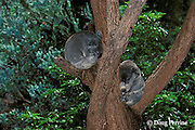koalas, Phascolarctos cinereus (c), sleeping, Australia