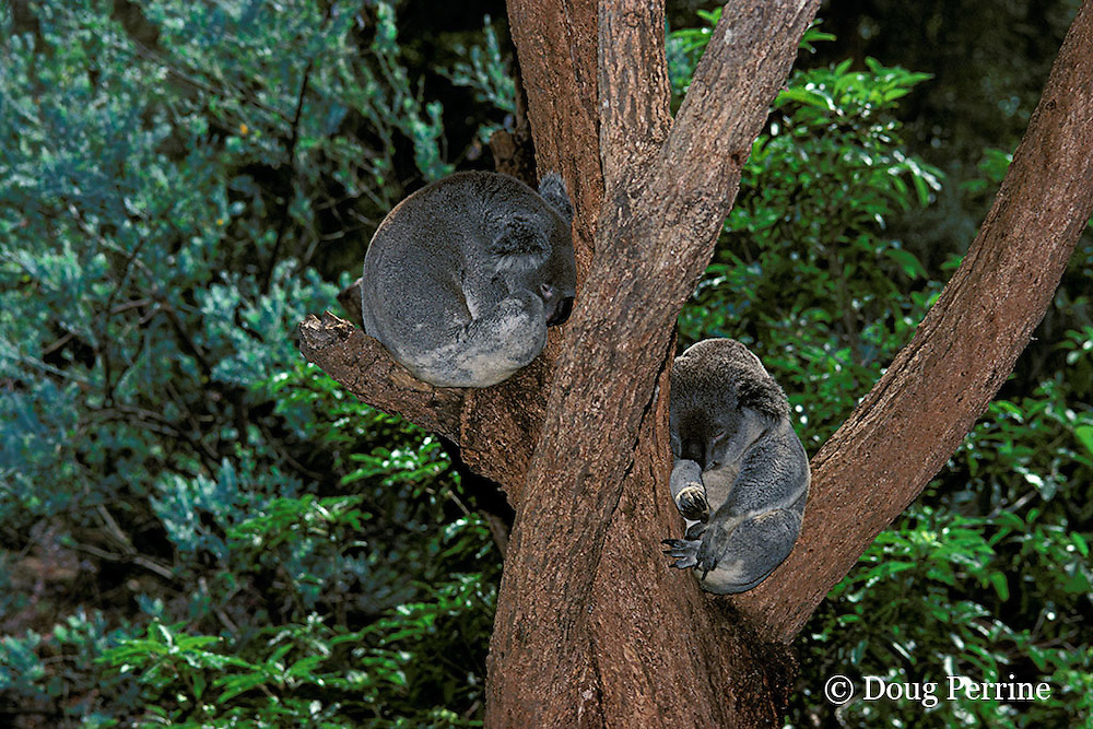 koalas, Phascolarctos cinereus (c), sleeping, Australia