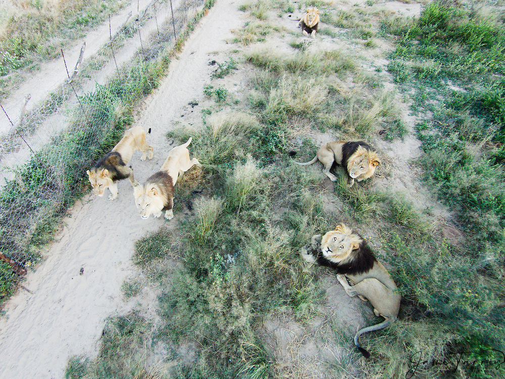 Aerial view of captive lions, (Panthera leo), Grasslands Ranch, Kalahari Desert, Botswana Africa