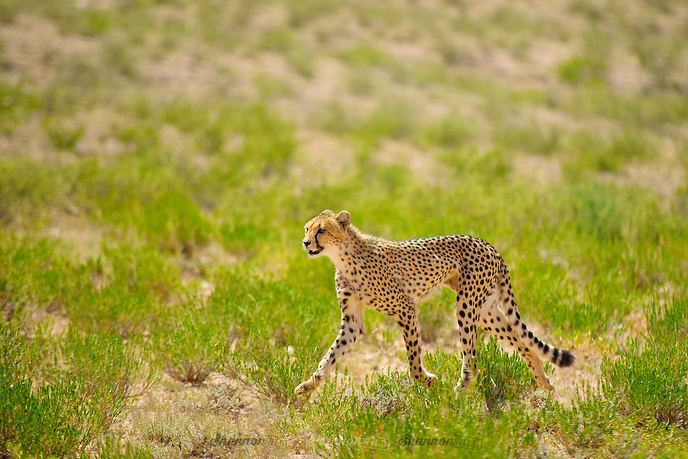 A young Cheetah (Acinonyx jubatus) runs across the plains of the Kgalagadi, South Africa.