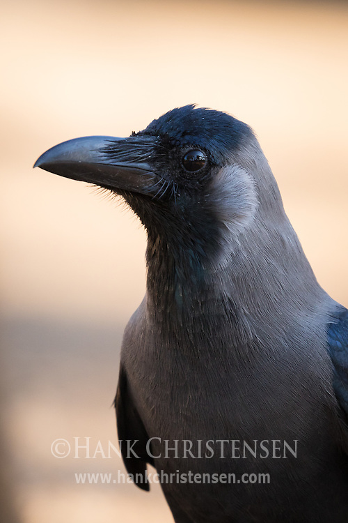 The grey nape of the indian house crow contrasts its black beak and feathers, Tamil Nadu, India.