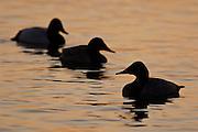 Canvasbacks, Aythya valisineria, Chesapeake Bay, Maryland