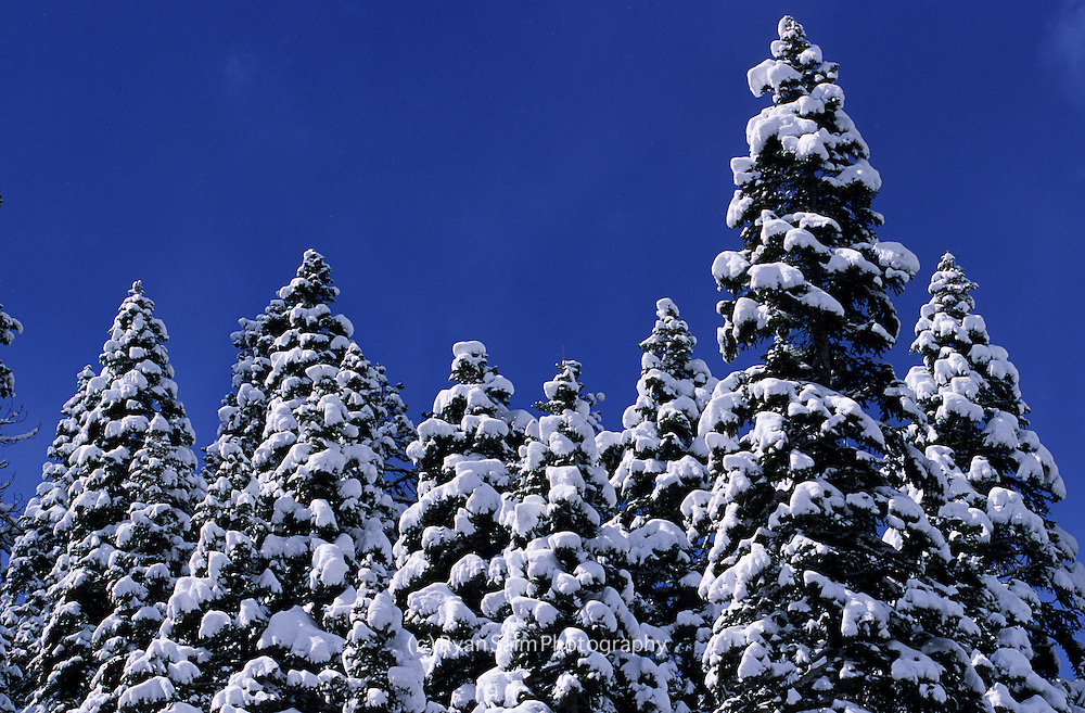 Snow clings to trees on a bluebird day