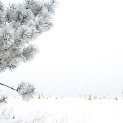 Frost covered pine tree near a snow covered corn field on a cold winter day.