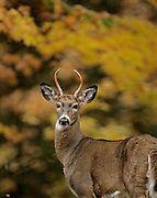 A whitetail buck looks out among the fall slendor on Twin Lake Road near Conover Wednesday afternoon. JEFFREY PHELPS PHOTO.