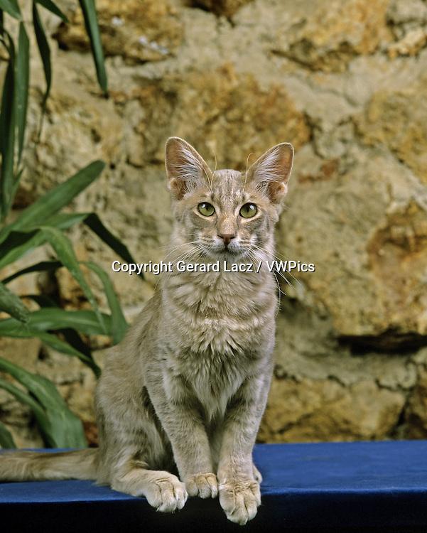 ORIENTAL LONGHAIR DOMESTIC CAT, ADULT SITTING